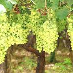 uva-da-tavola-prodotti-op-agorà-organizzazione-produttori-agricoli-metaponto-matera-basilicata