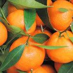 agrumi-prodotti-op-agorà-organizzazione-produttori-agricoli-metaponto-matera-basilicata
