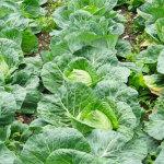 cavolfiori-prodotti-op-agorà-organizzazione-produttori-agricoli-metaponto-matera-basilicata