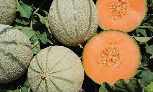 meloni-prodotti-op-agorà-organizzazione-produttori-agricoli-metaponto-matera-basilicata